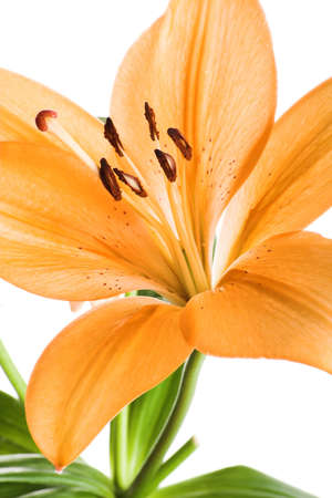 image of a orange lily flower isolated on white background photo