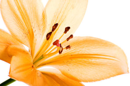 image of a orange lily flower isolated on white background