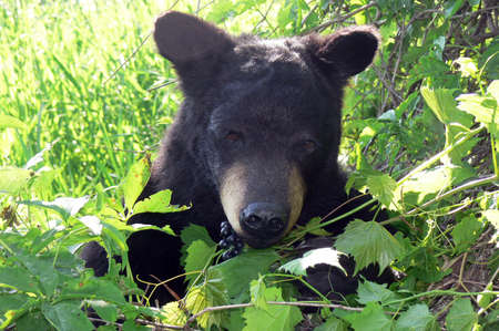 Black bear feeding on wild grapes in the pasture..