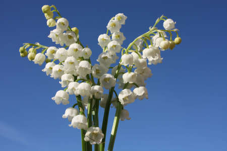 muguet: Lily of the valley, up close and vibrant..