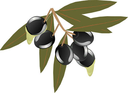 Olives hanging from a twig with oil dripping off them in an  illustration Vector