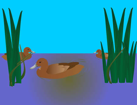 Three ducks swimming in a marshland area, with reeds, around them... Vector