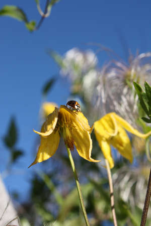 A Yellow clematis with a ladybug, tasting the petals in the sun... photo