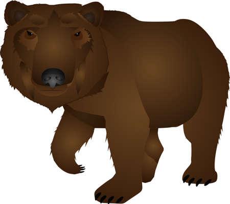 Wild bear walking around over white illustration Vector