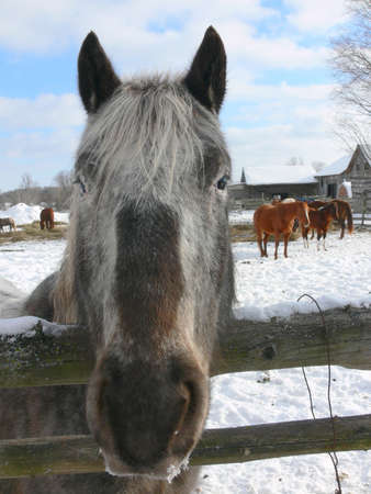 Horse looking straight ahead, and took a picture of its beautiful gray face.