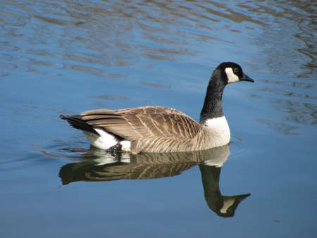 Canadian  Goose swimming in a pond...