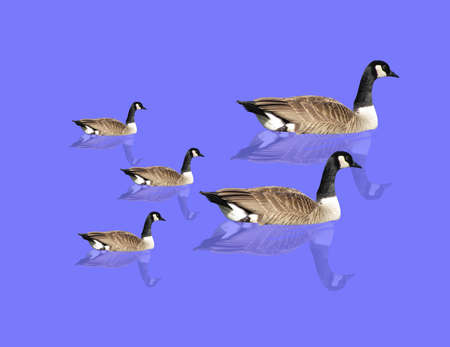migratory: Canadian  Geese swimming around in a pond... Illustration