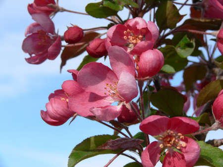 Crab apple blossoms, in the mid spring, bringing on its fruits of the earth