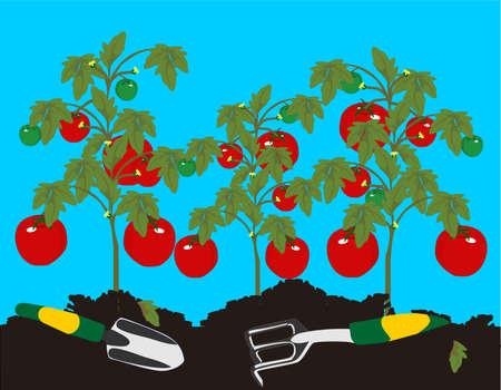 awaiting: Tomates crecen en la planta, espera a sus padres, despu�s de que se ha eliminado la maleza.