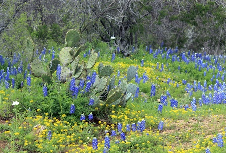 Cactus, bluebonnets, and wildflowers in the Texas hill country.