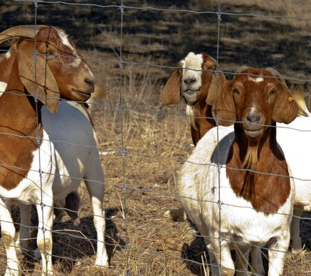 billy: Brown and White goats watching at a fence in pasture. one is pregnant.
