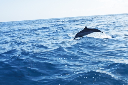 sighting: Spinner Dolphin jumping from the ocean off Na Pali Coast, Kauai, Hawaii