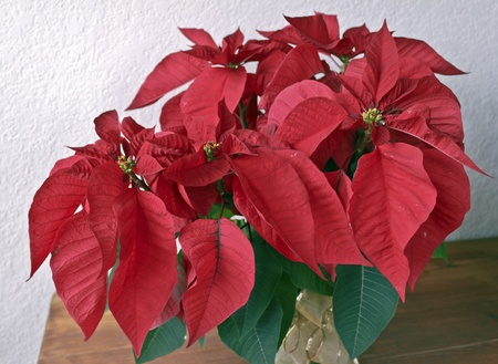 Red Poinsettia on a wooden table with textured wall photo
