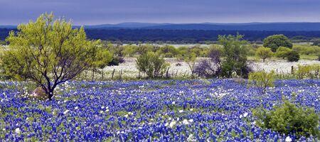 landscape: Bluebonnets in a field just before a storm rolls in.