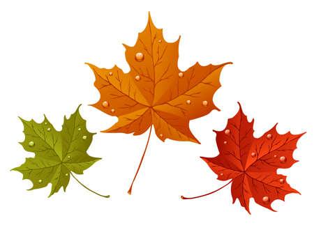 hojas de maple: Oto�o de hojas de arce