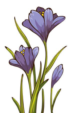Spring crocus Vector