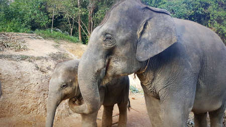 Elephant mother with baby at feeding in Thailand Stok Fotoğraf