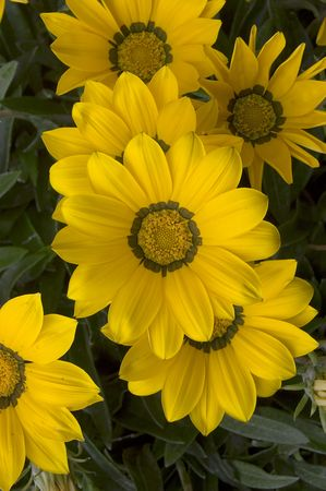 daises: Yellow Daises