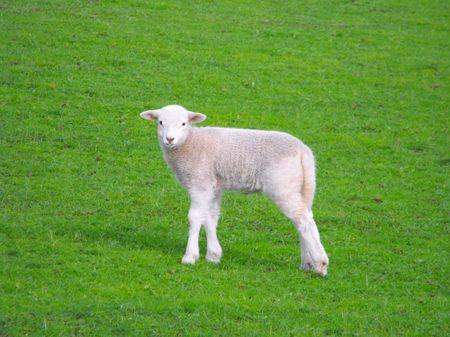 New Lamb 1 Stock Photo