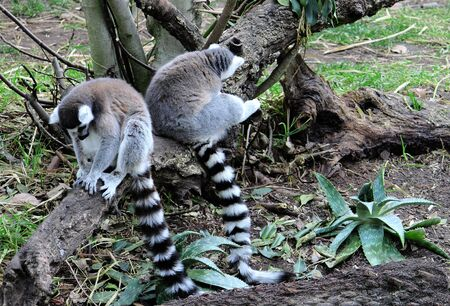 Lemurs madagascar Stock Photo