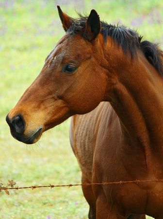 quarter horse: Horse 1