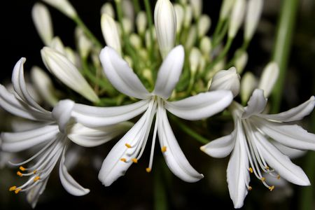 Agapanthus Flowers Stock Photo