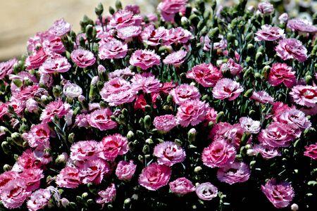 Dianthus Stock Photo - 6027270