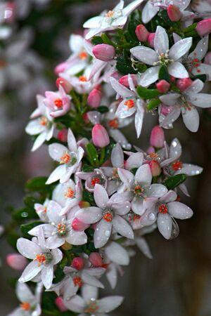 Native Daphne