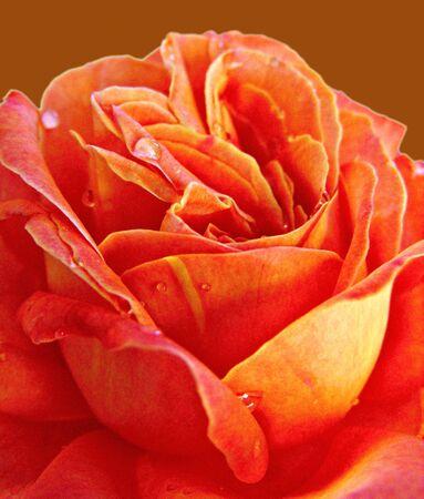 Apricot Rose Stock Photo