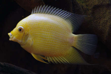 Golden Severum 3 Stock Photo