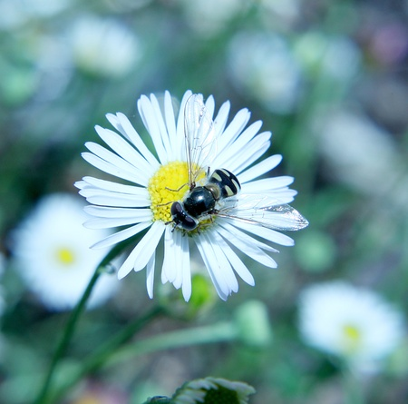 syrphid fly: Australian Native syrphid fly