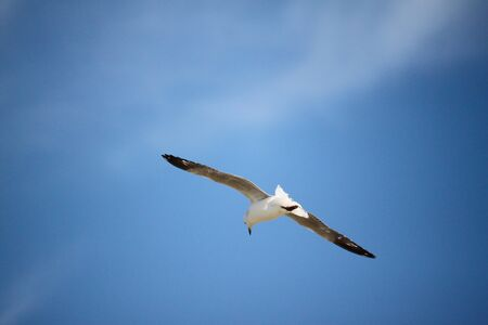 Seagull flying in a blue sky.