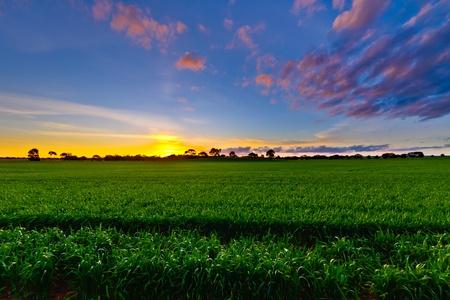 sembrando un arbol: Nuevos cultivos al anochecer Wistow Australia Meridional Foto de archivo