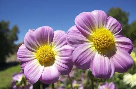 Pink Dahlia Flowers, Bright Blue Sky