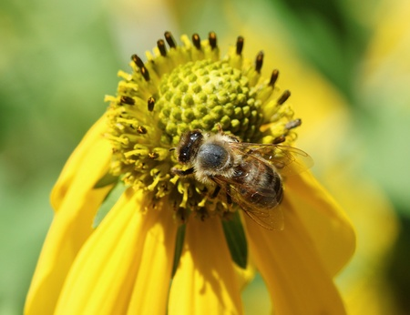 Honey Bee collecting Pollen from a Yellow Daisy.