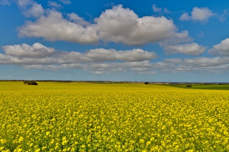 australia farm: Canola fields under a bright blue sky with fluffy white clouds. Stock Photo