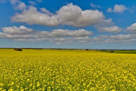 australie landschap: Canola velden onder een heldere blauwe hemel met pluizige witte wolken.