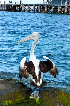 Australian Pelican Drying in the Sun. Stock Photo