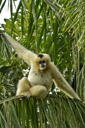 Female White Cheeked Gibbon