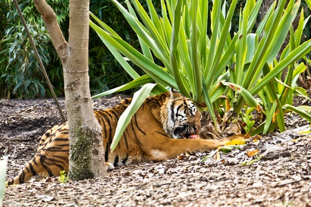 Somartrin Tiger Eating. Stock Photo - 12177468