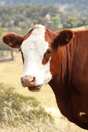 australian beef cow: Hereford Cow Stock Photo
