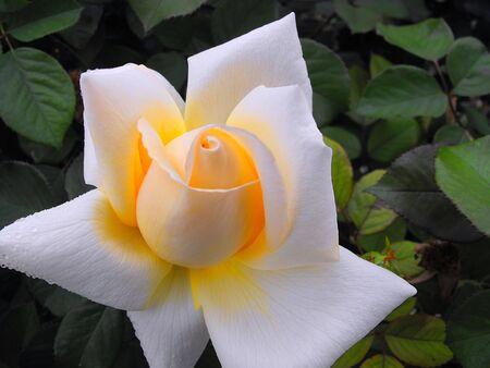White Rose Stock Photo - 13570729
