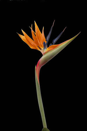 Bird of Paradise Flower Stock Photo - 13570728