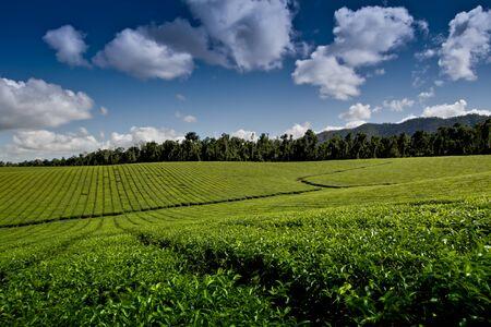 Tea Crop Inisfail Far North Queensland Australia Stock Photo