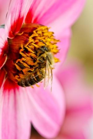 European Honey Bee Collecting Pollen Stock Photo