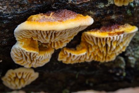 Bracket Fungi growing on fallen tree trunk