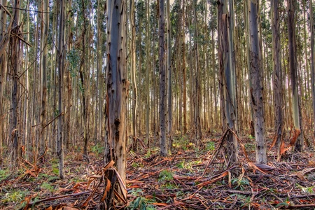 Young Eucalyptus forest Hindmarsh Valley south Australia