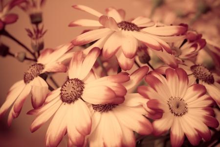 Pink   White Cinerarias Senecio stellata