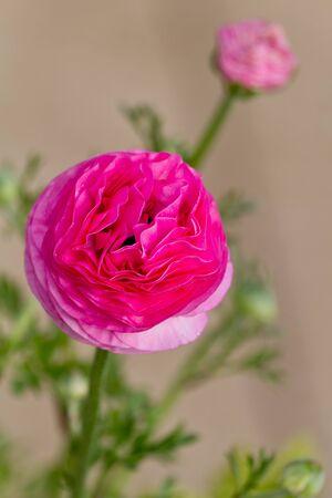Pink Ranunculus Stock Photo