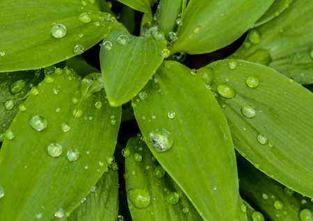 Water drops on new plant foliage Stock Photo